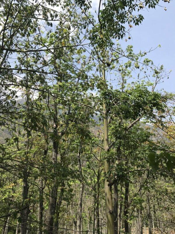 Kapoktræer